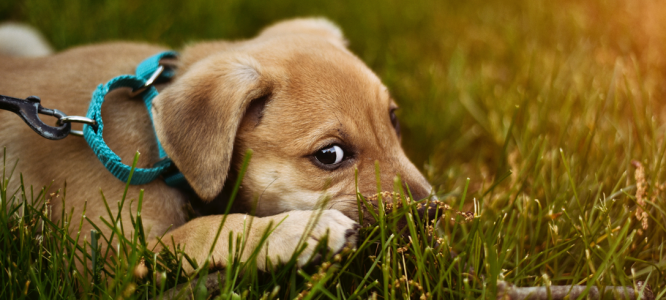 CBD olje za pse