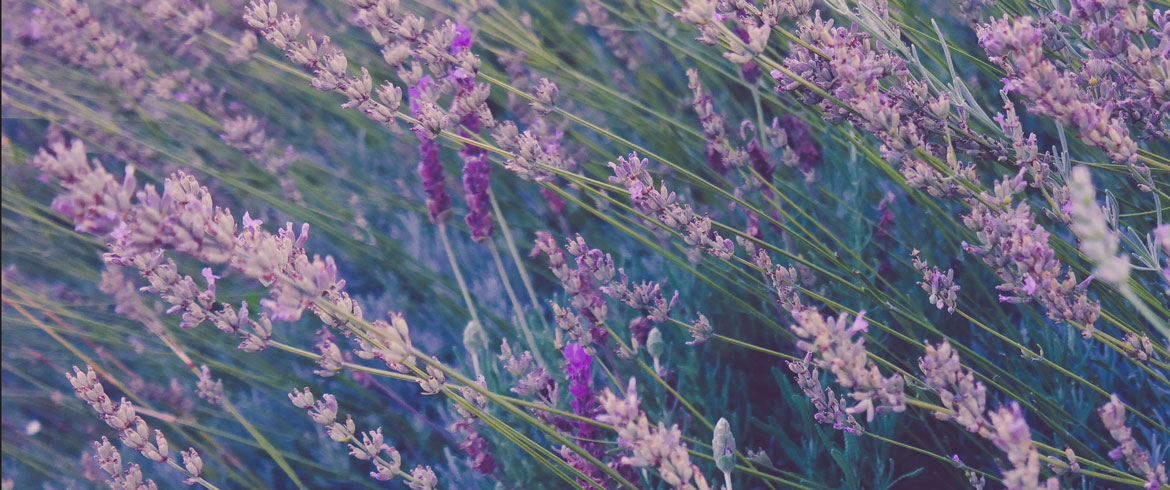 lavender_for_skin